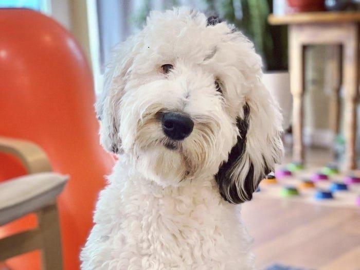 Sahibiyle konuşmak için düğmeler kullanan TikTok'un ünlü 'konuşan' köpeği Bunny ile tanışın.